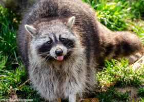 Raccoon (DSC 5227)
