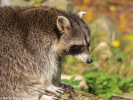 Raccoon (M05P1120)