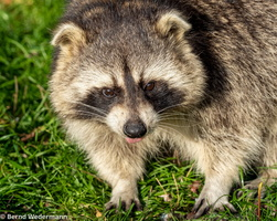 Raccoon (M05P1457)