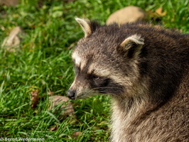 Raccoon (M05P1159)